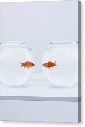 Goldfish In Separate Fishbowls Looking Face To Face Canvas Print by Adam Gault