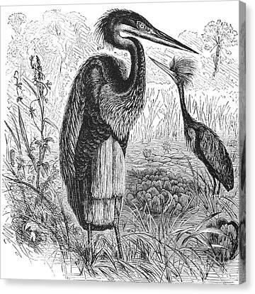 Goliath Heron Canvas Print by Granger