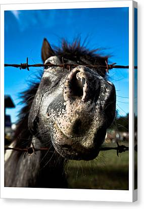 Golly A Curious Horse Canvas Print