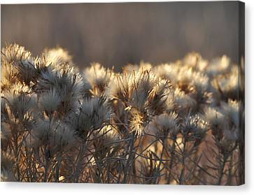Canvas Print featuring the photograph Gone To Seed by Fran Riley