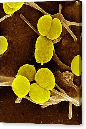 Gonorrhoea Bacteria, Sem Canvas Print by