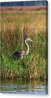 Good Morning - Blue Heron Canvas Print by Linda Mesibov