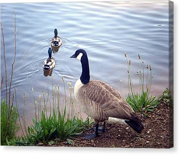 Goose And Ducks Canvas Print by Kelly Hazel