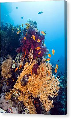Gorgonian And Soft Coral Canvas Print by Georgette Douwma