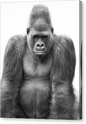 Gorilla Canvas Print by Darren Greenwood