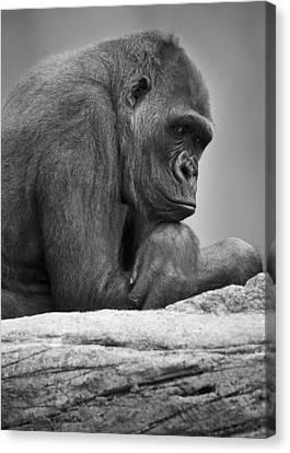 Gorilla Portrait Canvas Print by Darren Greenwood