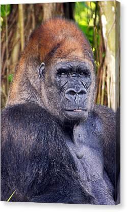 Gorilla Posing Canvas Print by Joe Myeress