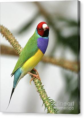Gouldian Finch Canvas Print