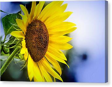 Graceful Sunflower Canvas Print by Trudy Wilkerson
