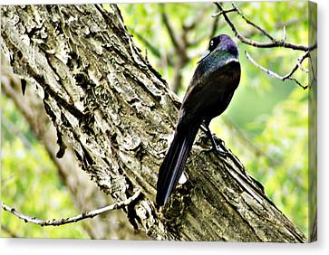 Grackle 1 Canvas Print