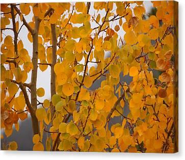 Grand Lake Aspen Canvas Print
