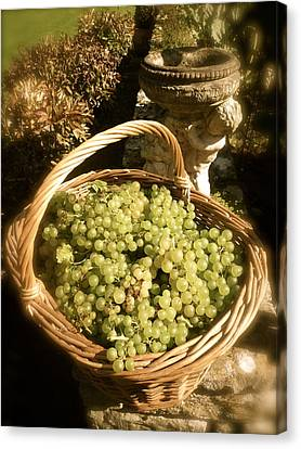 Grape Harvest Canvas Print by John Colley