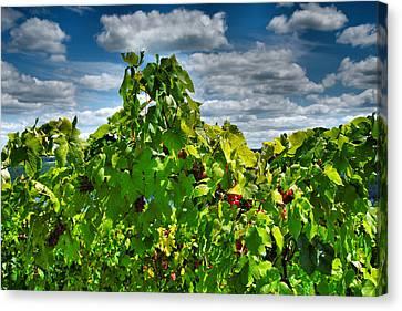 Grape Vines Up Close Canvas Print by Steven Ainsworth