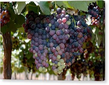 Grapes Bunch Canvas Print by Johnson Moya