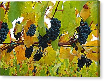 Grapes On The Vine Canvas Print by Jani Freimann