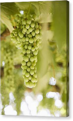 Grapes On Vine Canvas Print by Andersen Ross