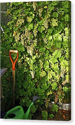 Grapevine In A Greenhouse Canvas Print by Bjorn Svensson