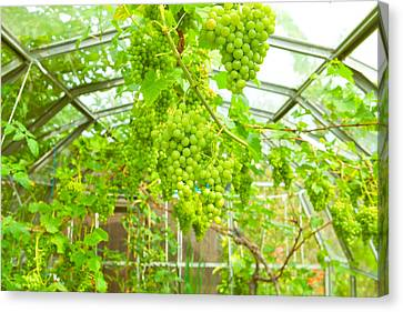 Grapevine Canvas Print by Tom Gowanlock