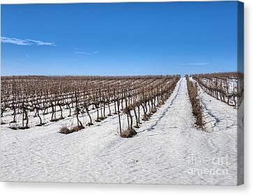 Grapevines In Snow Canvas Print by Noam Armonn