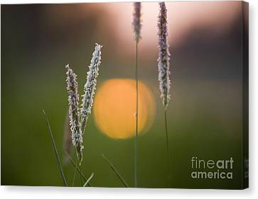 Grass Blooming Canvas Print by Heiko Koehrer-Wagner