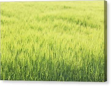 Grass Growing In Field Canvas Print by Imagewerks