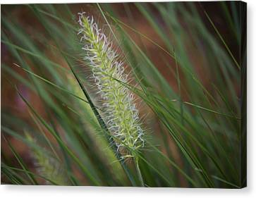 Grass In The Wind Canvas Print by Michel DesRoches
