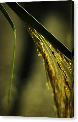 Grass Plume Canvas Print by Rebecca Sherman
