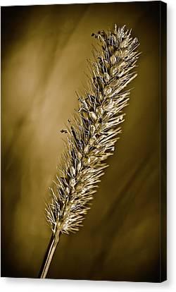 Grass Seedhead Canvas Print by  Onyonet  Photo Studios