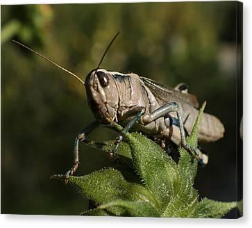 Grasshopper 2 Canvas Print by Ernie Echols
