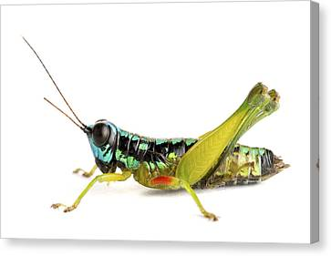 Grasshopper Barbilla Np Costa Rica Canvas Print by Piotr Naskrecki