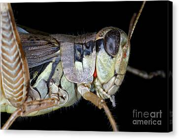 Grasshopper With Parasitic Mite Canvas Print by Ted Kinsman