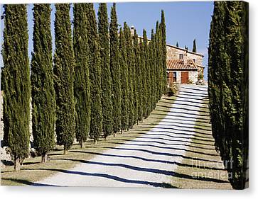 Gravel Road Lined With Cypress Trees Canvas Print