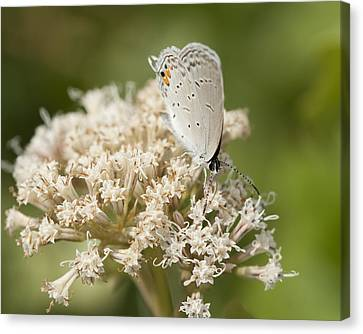 Gray Hairstreak Butterfly On Milkweed Wildflowers Canvas Print
