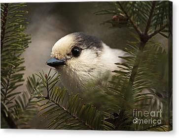 Gray Jay Playing Peek A Boo Canvas Print by Inspired Nature Photography Fine Art Photography