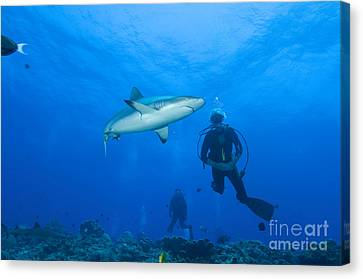 Gray Reef Shark With Divers, Papua New Canvas Print by Steve Jones