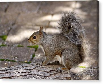 Canvas Print featuring the photograph Gray Squirrel by Denise Pohl
