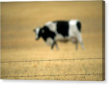 Grazing Cow, Alberta, Canada Canvas Print by Ron Watts