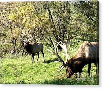 Grazing Elk  Canvas Print by The Kepharts