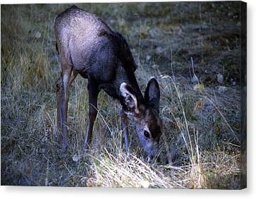 Canvas Print featuring the photograph Grazing Fawn by Gary Brandes