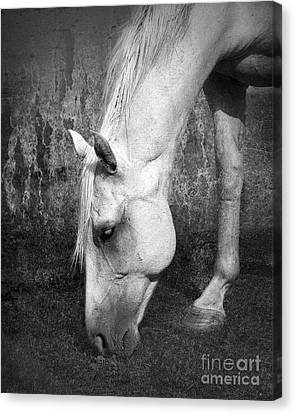 Grazing In Black And White Canvas Print by Betty LaRue