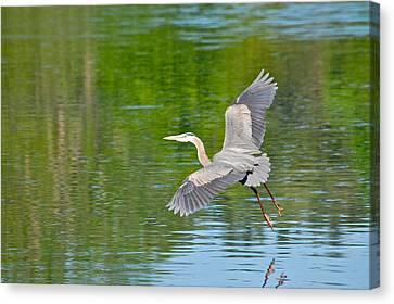 Great Blue Heron - Where To Now Canvas Print by Mary McAvoy