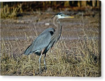 Great Blue Heron 2 Canvas Print by Harry Strharsky