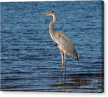Great Blue Heron Canvas Print by Art Whitton