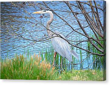 Great Blue Heron At Pond's Edge Canvas Print by Mary McAvoy