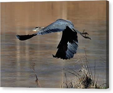 Great Blue Heron Flight - C1287g Canvas Print by Paul Lyndon Phillips