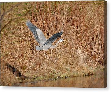 Great Blue Heron In Flight Canvas Print by Mary McAvoy