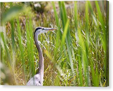 Canvas Print featuring the photograph Great Blue Heron In Reeds by Mary McAvoy