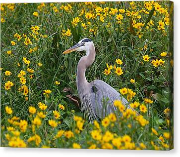 Great Blue Heron In The Flowers Canvas Print by Myrna Bradshaw