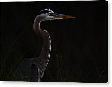 Great Blue Heron In The Sea Oats Canvas Print