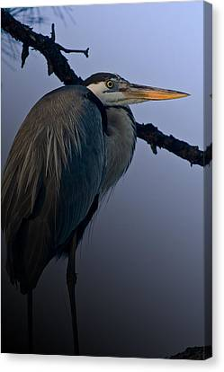 Great Blue Heron In The Tree Canvas Print